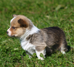 Pembroke Welsh Corgi Puppy For Sale in SOLDIERS GROVE, WI, USA