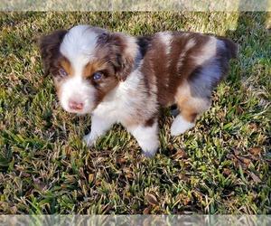 Miniature Australian Shepherd Puppy for sale in ARLINGTON, TX, USA