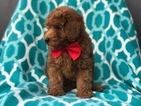 Poodle (Miniature) Puppy For Sale in PEACH BOTTOM, PA, USA