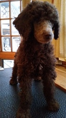 Poodle (Standard) Puppy For Sale in HAWLEY, MN, USA