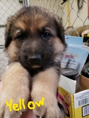 German Shepherd Dog Puppy For Sale in SHERIDAN, IN, USA
