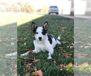 Texas Heeler Puppy for sale in DELTA, CO, USA