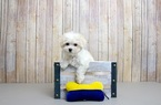 Maltese Puppy For Sale in PORTSMOUTH, OH, USA