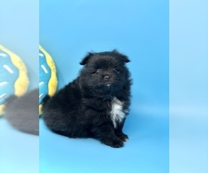 Pomeranian Puppy for Sale in CRESTVIEW, Florida USA