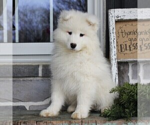 Samoyed Puppy for sale in GORDONVILLE, PA, USA