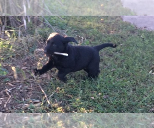 Medium Photo #3 Labrador Retriever Puppy For Sale in PARKER, KS, USA