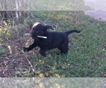 Small Photo #3 Labrador Retriever Puppy For Sale in PARKER, KS, USA