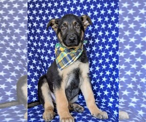 German Shepherd Dog Puppy for sale in GLEN ROCK, PA, USA