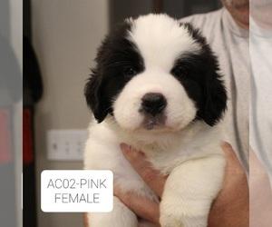 Newfoundland-Saint Bernard Mix Puppy for Sale in BERESFORD, South Dakota USA