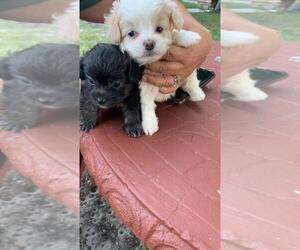 Maltipoo Puppy for sale in HIALEAH, FL, USA