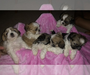 Shih Tzu Puppy for Sale in JOSHUA TREE, California USA