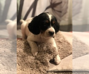 English Setter Puppy for sale in GOODLAND, KS, USA