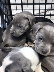 Staffordshire Bull Terrier Puppy For Sale in BROOKLYN, NY, USA