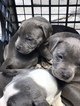 Staffordshire Bull Terrier Puppy For Sale in BROOKLYN, NY,