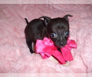 Chihuahua Puppy for sale in JACKSON, MS, USA