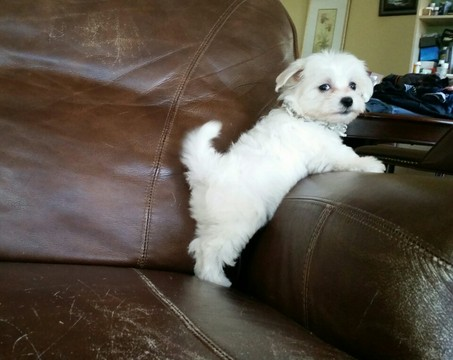 maltese toy poodle mix view ad maltese poodle toy mix puppy for sale 8593