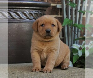 Labrador Retriever Puppy for sale in BIRD IN HAND, PA, USA