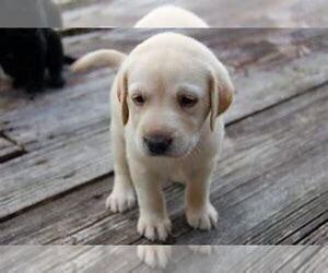 Labrador Retriever Puppy for sale in THREE RIVERS, MI, USA