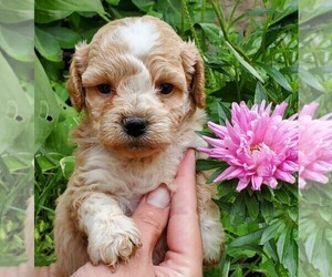 Poodle (Toy)-Shih-Poo Mix Puppy for sale in CLARE, IL, USA