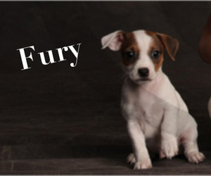 Jack Russell Terrier Puppy for Sale in PEABODY, Kansas USA