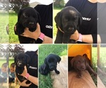 Labrador Retriever Puppy For Sale in DECATUR, IN, USA