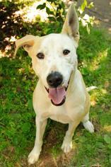 Arrow - Pit Bull Terrier Dog For Adoption
