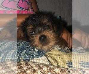 Yorkshire Terrier Puppy for Sale in SPENCER, Tennessee USA