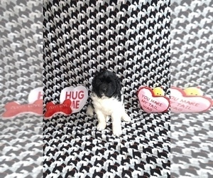 Newfoundland Puppy for sale in ATTERBURY, IN, USA