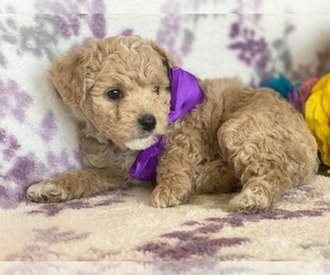 Poochon Puppy for sale in LANCASTER, PA, USA
