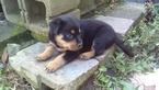 Rottweiler Puppy For Sale in SPENCER, Indiana,