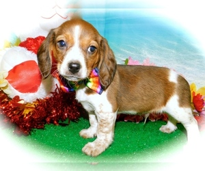 Doxle Puppy for sale in HAMMOND, IN, USA