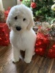 Goldendoodle-Poodle (Miniature) Mix Puppy For Sale in RICHMOND, IL, USA