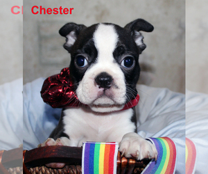 Boston Terrier Puppy for sale in PROSPECT, KY, USA