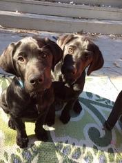 Labrador Retriever Puppy For Sale in SHREVEPORT, LA, USA