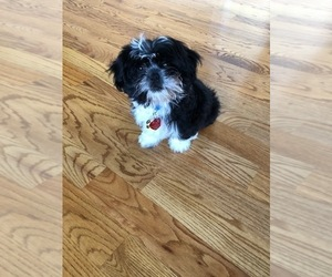 Shih Tzu Puppy for sale in LILBURN, GA, USA
