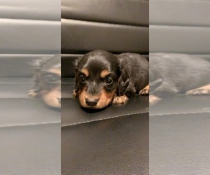 Dachshund Puppy for Sale in QUANAH, Texas USA