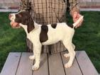 German Shorthaired Pointer Puppy For Sale in CITY RANCH, CA, USA
