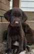AKC Chocolate Labrador Retriever Females
