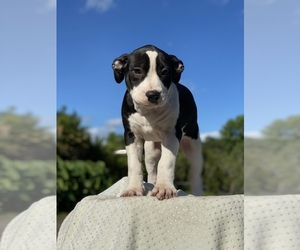 American Staffordshire Terrier Puppy for Sale in MIMS, Florida USA