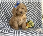 Small #2 Cocker Spaniel-Poodle (Miniature) Mix