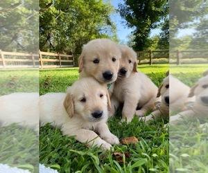 Golden Retriever Puppy for Sale in HAYESVILLE, North Carolina USA
