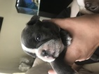 Boston Terrier Puppy For Sale in BEVERLY HILLS, FL, USA