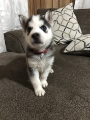 Siberian Husky Puppy For Sale in LA VERGNE, TN, USA