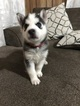 Siberian Husky Puppy For Sale in LA VERGNE, Tennessee,