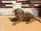 Chihuahua Puppy For Sale in MERIDIAN, NY