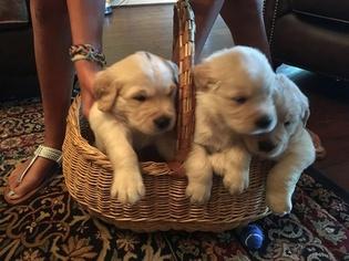 Golden Retriever Puppy for sale in BRENHAM, TX, USA