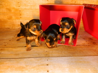 Yorkshire Terrier Puppy For Sale in PIKEVILLE, TN, USA
