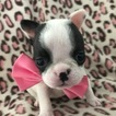 French Bulldog Puppy For Sale near 17566, Quarryville, PA, USA
