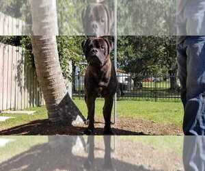 Bullmastiff Puppy for sale in HOLLYWOOD, FL, USA