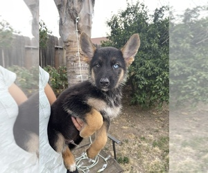 German Shepherd Dog Puppy for sale in RIVERBANK, CA, USA